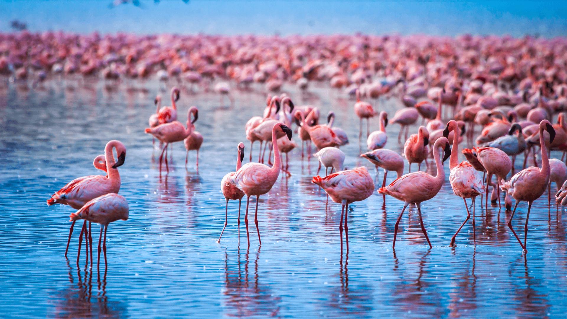 Flamingoların Dansı; Bogoria Gölü