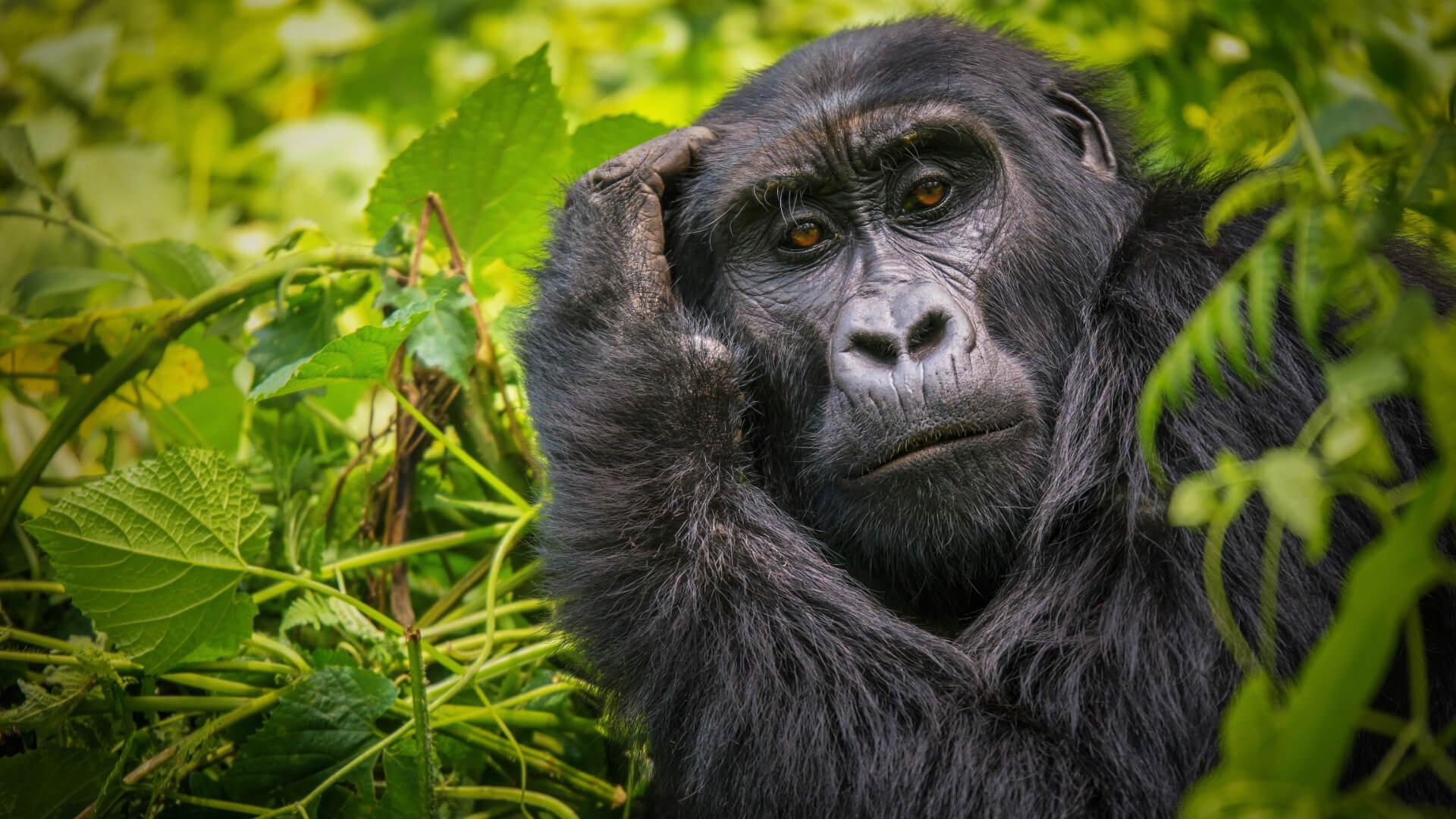 Rwanda ve Uganda'da Goril Dostlarla